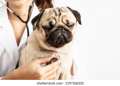 Beautiful Attractive Young Asian Veterinarian Woman using stethoscope checking up the dog pug breed for diagnosis at the veterinarian clinic feeling so happiness and comfortable,Isolated on white