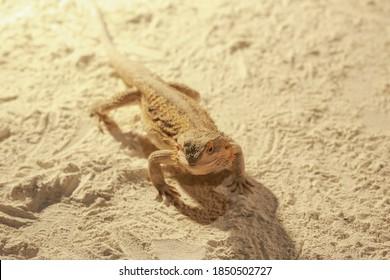 Beautiful Australian Bearded dragon(Pogona vitticeps) walks on sand. Pogona is Agamidae lizard genus endemic to Australia. Beautiful lizard with spikes of sand color. Endangered not poisonous reptile