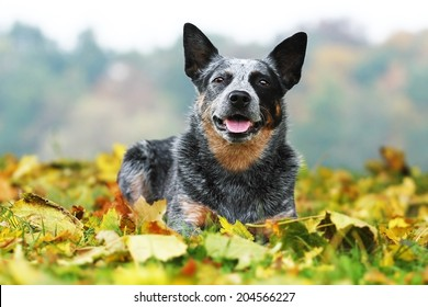 beautiful australian cattle dog