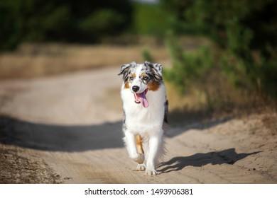 Beautiful Australian shepherd breed outdoors