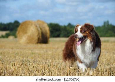 Beautiful australian shepherd dog in the countryside