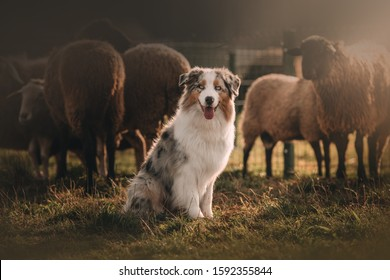 Beautiful Australian shepherd is posing and herding