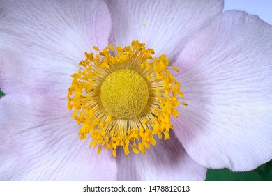 Beautiful autumn anemone flowers in the garden. Anemone hupehensis, Japanese anemone or  windflower, close-up.