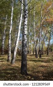 A beautiful autumn birchwood, Ukraine.