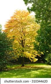 Beautiful autumn Cercidiphyllum or katsura tree  in the park