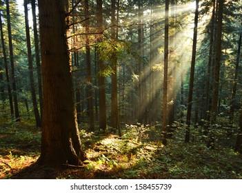 Beautiful autumn dawn in pine forest