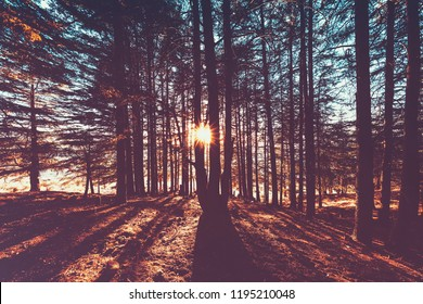Beautiful autumn forest landscape, bright sun lights break through great pine trees trunks, amazing view of wild nature, fall season concept