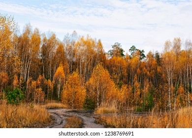 Beautiful autumn in the forest of yellow birches at Kaluga in Russia.
