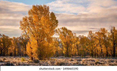 A beautiful autumn landscape, with backlit cottonwood trees looking golden in early morning sun. Grand Teton National Park, Wyoming.