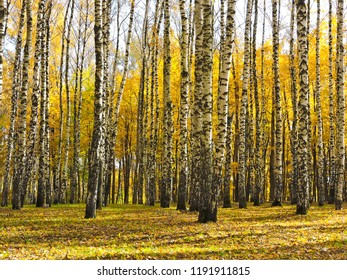 Beautiful autumn landscape, birches with yellow  leaves in the wind, autumn forest, falling leaves
