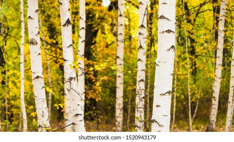 Beautiful autumn landscape - trunks of birch trees and a branch with yellow leaves and a forest with trees with yellow autumn foliage