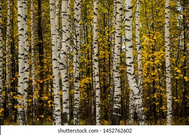 Beautiful autumn landscape with yellow and white birches. Birch trees trunks. Beautiful panorama