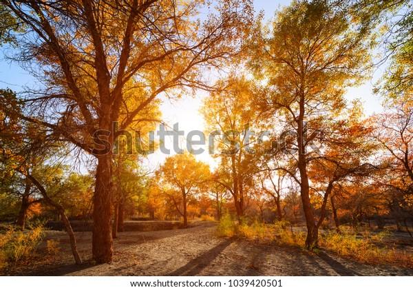 Beautiful autumn landscape,Populus diversifolia tree in China's western regions