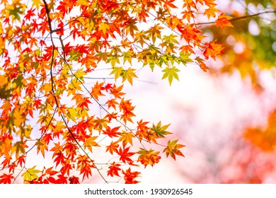 Beautiful autumn leaves that turned red in autumn in Japan
