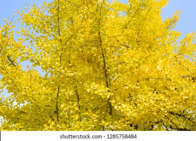 Beautiful autumn leaves of Yellow Ginkgo tree branch with blue sky and copy space at Osaka Castle, Osaka, Kansai, Japan
