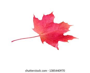 Beautiful autumn maple leaf isolated on white. Fall leaf