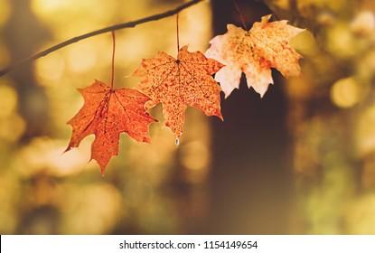 beautiful autumn maple leaves in sunlight. autumn forest.  autumn natural landscape. Autumn