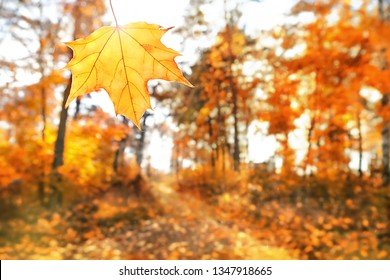 beautiful autumn maple leaves in sunlight. autumn forest landscape. autumn season natural background. selective soft focus, abstract blurred background