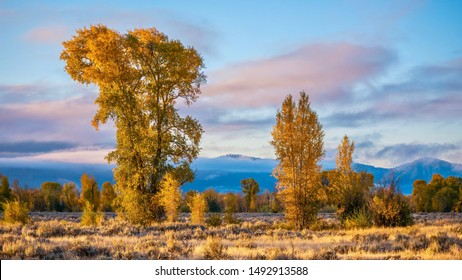 A beautiful autumn nature scene in Grand Teton National Park, as tall cottonwood trees with yellow foliage, low clouds, and distant hills create a beautiful landscape. Jackson Hole, Wyoming.