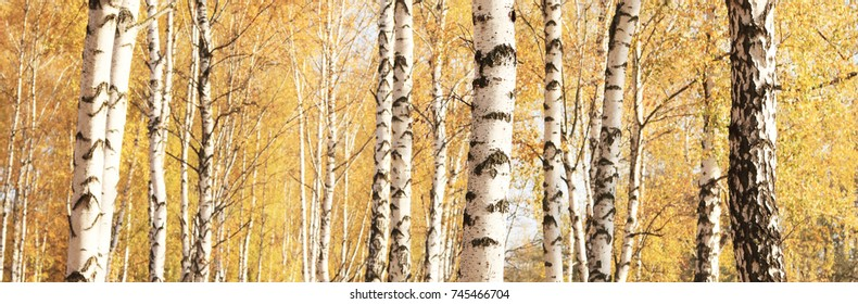 beautiful autumn panorama with yellow birches in birch grove