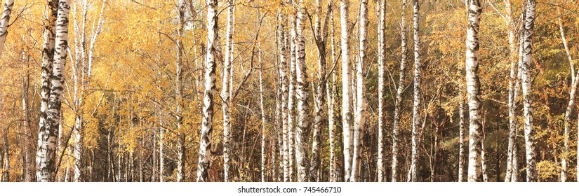 beautiful autumn panorama with yellow birches in birch grove