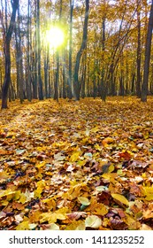 Beautiful autumn park -  Maple trees and yellow fallen leaves in sunset sunlight. Autumn landscape