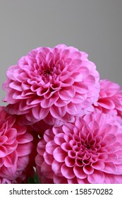 Beautiful autumn pink flowers on gray background/Natural pink dahlias