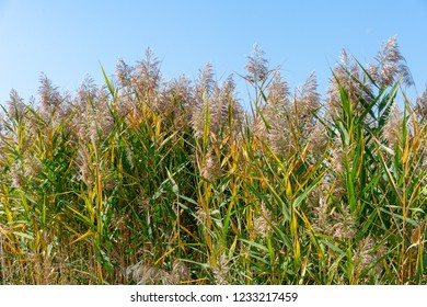 Beautiful autumn reeds, Scenery with the autumn reed, Autumn reed forest