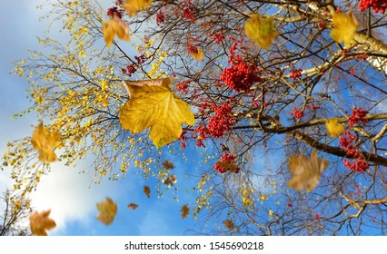 beautiful Autumn season landscape red mountain ash  yellow leaves falling trees  blue sky white clouds nature bright colorful  background