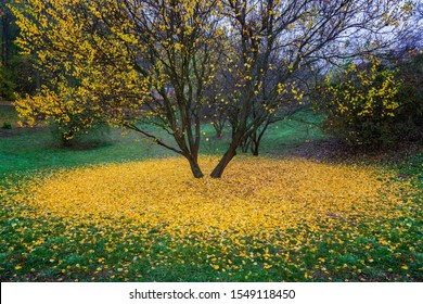 Beautiful autumn tree with fallen yellow leaves laying around. Late autumn scene