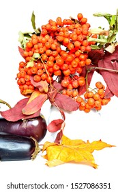 Beautiful autumn wallpaper. Cluster of orange berries of mountain ash in vase, Bunch of purple eggplants and yellow fall maple leaf on white background. Isolated