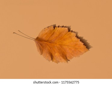 Beautiful Autumnal Background. Dry Orange yellow leaf with foggy edges on beige brown solid background. Back to School Thanksgiving Concept. Clean Minimalist Style. Poster Banner. Copy Space