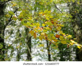 Beautiful autumnal foreground branch with green yellow and orange leaves with trees out of focus in background.