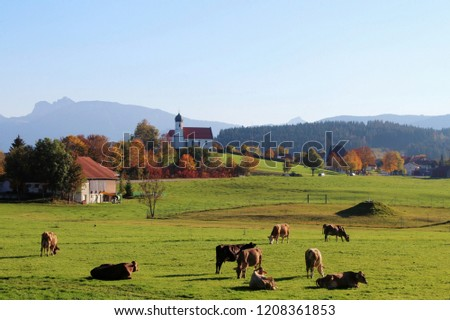 Beautiful autumnal landscape with steeple, herd of cows in the foreground, Alp mountains in the background, Allgäu, Bavaria