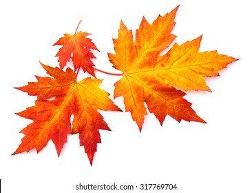 Beautiful autumnal maple leaves on white background
