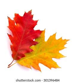 Beautiful autumnal oak leaves on white background