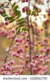 Beautiful autumnal pink berries of Sorbus vilmorinii plant. The plant is also known as Vilmorin rowan orVilmorin mountain ash. Photograph taken in October in Scotland. Selective focus.