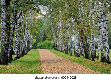 Beautiful avenue of birch trees in early fall in the estate of Leo Tolstoy at Yasnaya Polyana, Tula region, Russia. It leads from the gate of the estate to the writer's house.