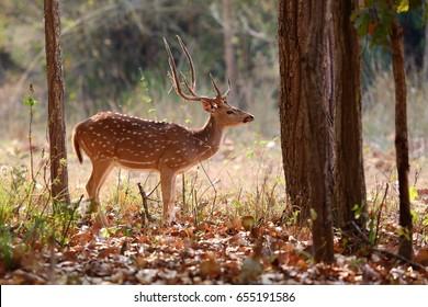 Beautiful axis deer in the nature habitat in India. Beautiful axis deer.Indian wildlife and tiger prey.