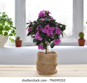 Beautiful azalea blossoming room in the form of a topiary on a wooden table in the background of a window and pots with flowers on a windowsill. interior. lifestyle