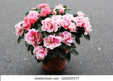 beautiful azalea flower in a pot