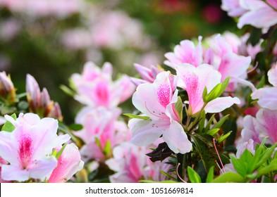 Beautiful azalea flowers in a garden