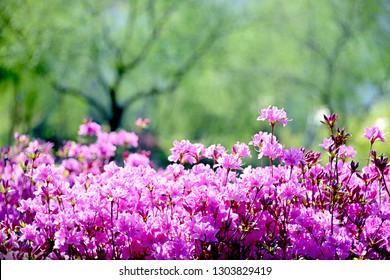 beautiful azalea spring