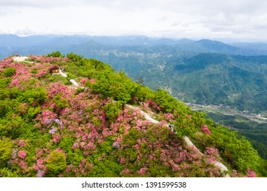 beautiful azaleas blooming on dabie mountain, hubei province, China