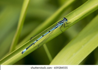 A Beautiful Azure Blue Damsel Fly on a Reed stalk