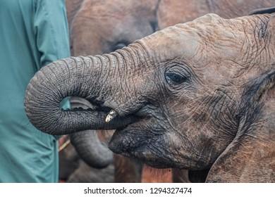A beautiful baby African elephants drinking milk in Africa Kenya
