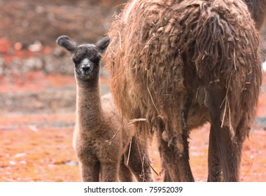 A beautiful baby llama with mother nearby.