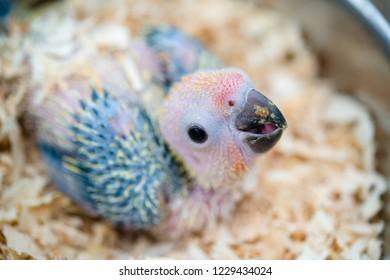 Beautiful Baby Macaw close up