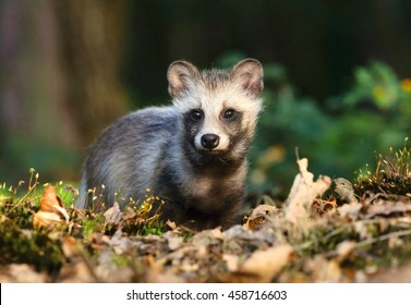 Beautiful baby raccoon dog