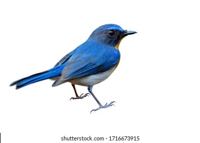 Beautiful back view of bright colorbird isolated on white background, male of Tickell's or Indochinese blue flycatcher (Cyornis tickelliae)